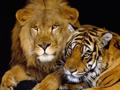 «Тигры», «кошки» и «львы» (TIGRs, CATS и LIONs)